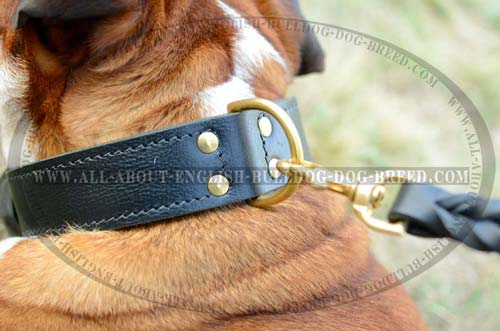 D-Ring on Training English Bulldog Collar