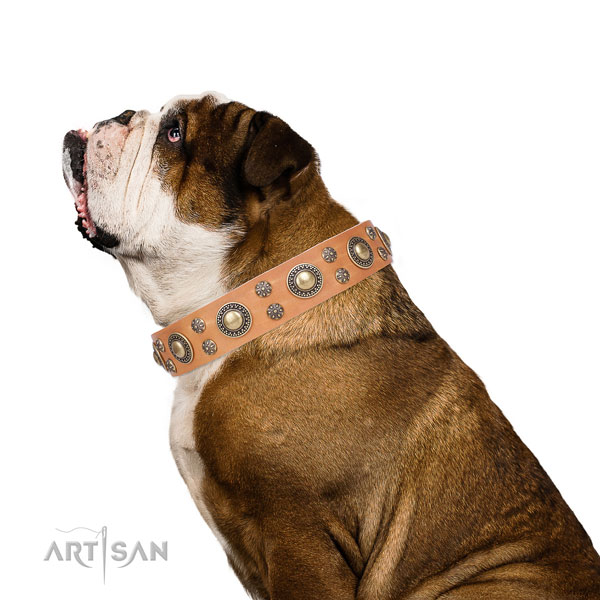 English Bulldog studded natural genuine leather dog collar for basic training
