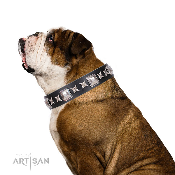 English Bulldog studded full grain natural leather dog collar for everyday use