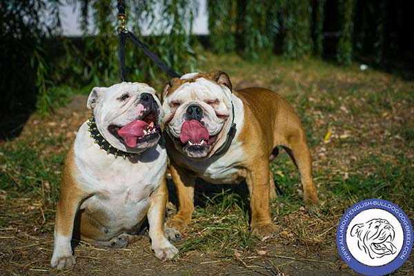 English Bulldog leather collar of high quality adorned with spikes for daily activity