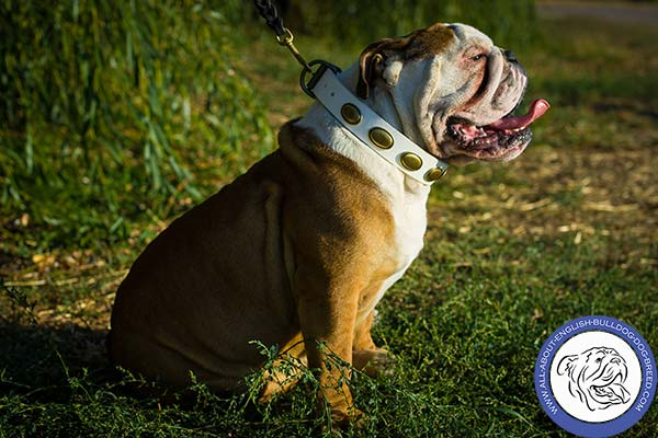 Strong Leather English Bulldog Collar with Rust-proof Fittings