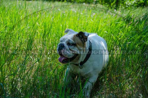 Comfortable Leather Collar for English Bulldog