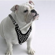 English bulldog Spiked Dog Harness