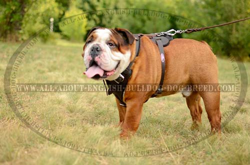 Comfortable Leather English Bulldog Harness for Training  and  Walking