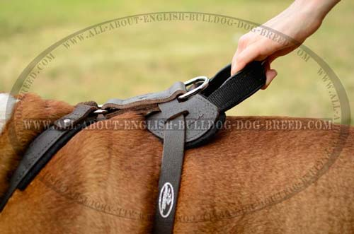 Durable Handle on English Bulldog Harness Leather