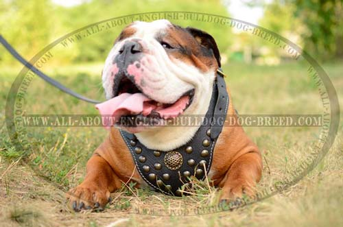 Amazing Leather English Bulldog Harness
