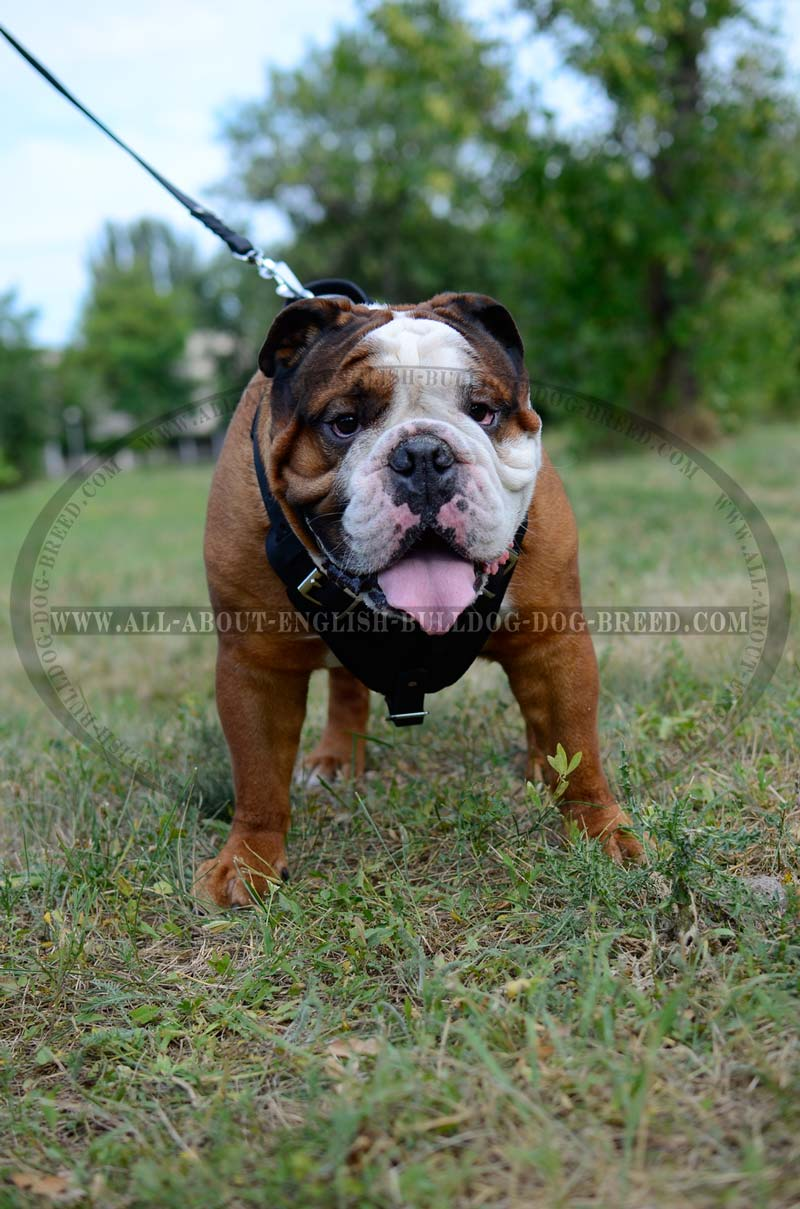 english bulldog training order attack training walking classic dog harness for 4169