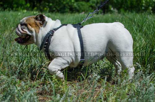 Hypoallergic Leather Harness for English Bulldog