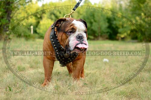 Studded English Bulldog Harness Leather Chest Plate