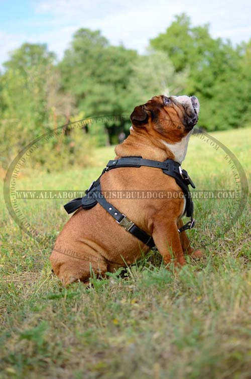 English Bulldog Harness Leather Walking Dog Supply