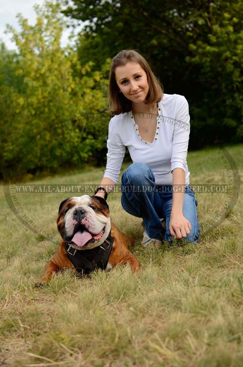 English Bulldog Harness Leather Walking Dog Item