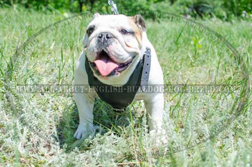 Stitched Multipurpose Leather Harness for English Bulldog