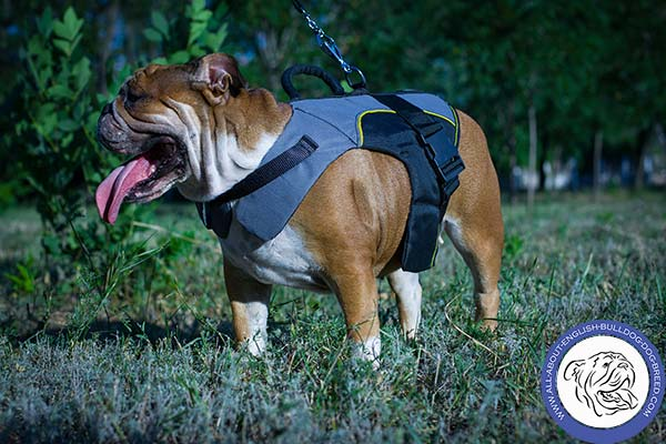 English Bulldog nylon harness felt padded with d-ring for leash attachment for basic training