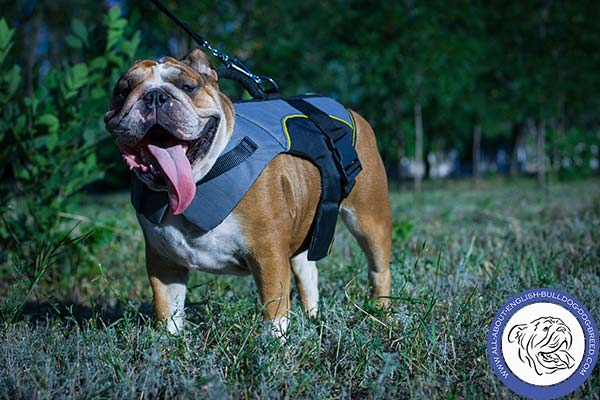 English Bulldog nylon harness with strong handle for pulling activity