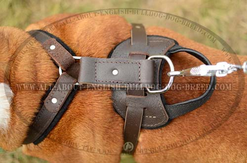 Comfy Padded Back Plate on English Bulldog Harness