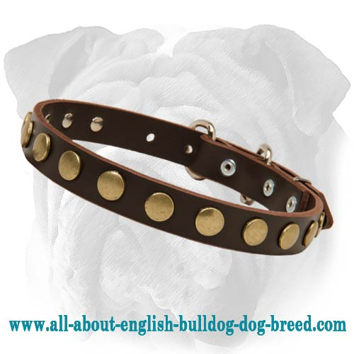 Studded Leather Puppy Collar for English Bulldog