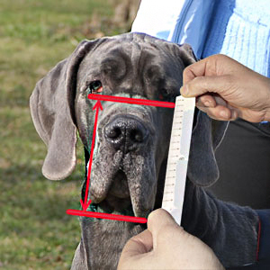 How to measure hight of your dog muzzle